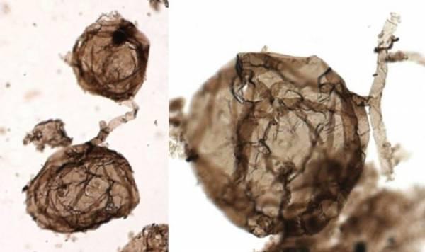 Ученые нашли самый древний многоклеточный организм на Земле