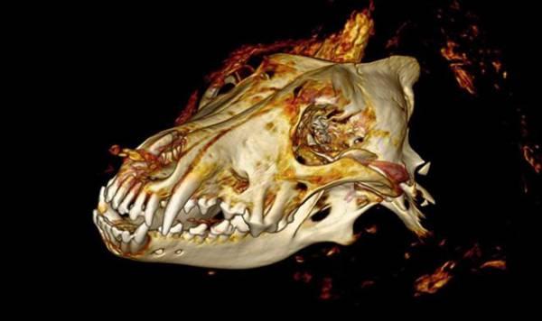В Сибири нашли голову гигантского волка, жившего 40 000 лет назад
