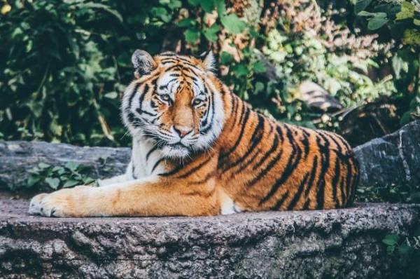 В Хабаровском крае тигр убил охотника