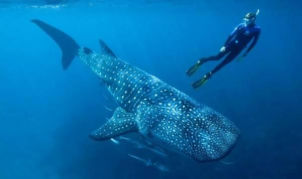 Ядерные бомбы помогли впервые установить истинный возраст китовых акул