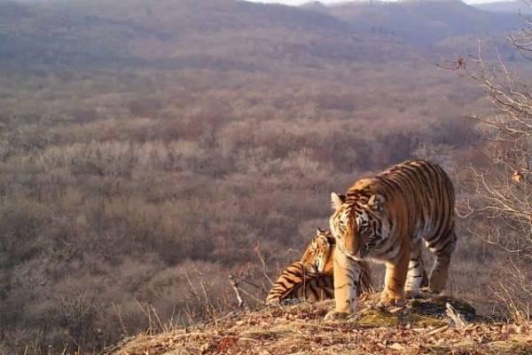 Жителя Хабаровского края подозревают в убийстве самки амурского тигра