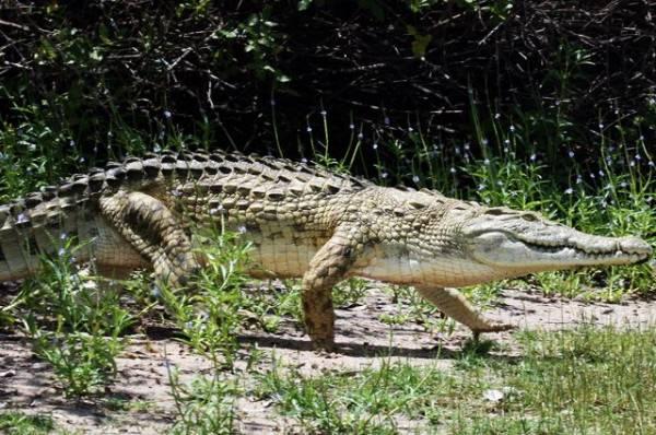 Крокодил растерзал индийца, совершавшего оздоровительный ритуал