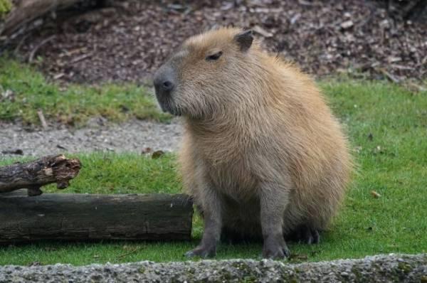 Директор Ленинградского зоопарка спасла капибару во время ночного пожара