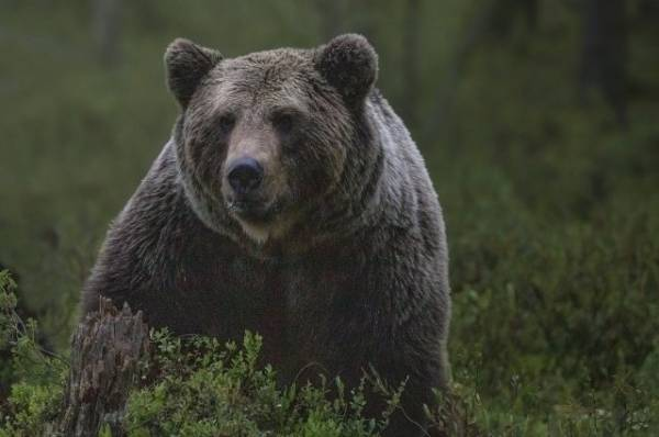 Пенсионерка из Якутии отпугнула медведя рыком