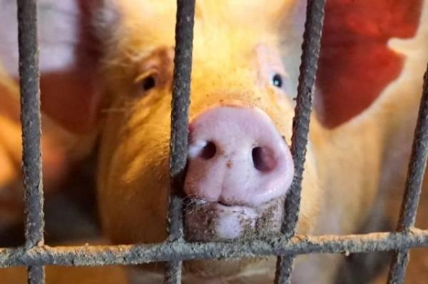 В Приморском крае обнаружили очаг африканской чумы свиней