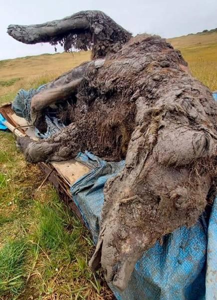 В Якутии нашли идеально сохранившееся тело пещерного медведя возрастом 30 000 лет