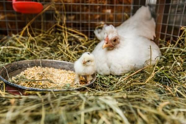 На севере Казахстана зафиксирована вспышка птичьего гриппа