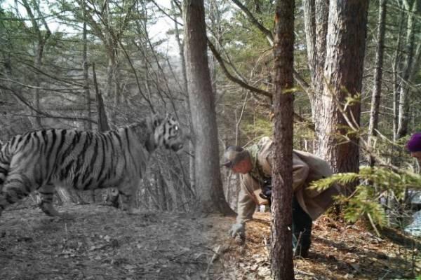 По факту убийства тигра в Амурской области возбуждено уголовное дело
