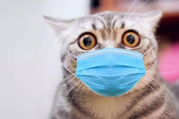 Кошачий грипп: симптомы, течение, лечение