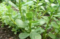 Что за растение портулак, которое помогает лечить прыщи?