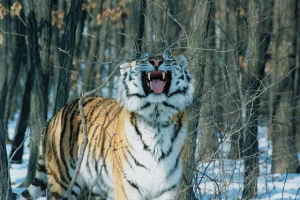 В Хабаровском крае начали проверку из-за обезглавленного амурского тигра