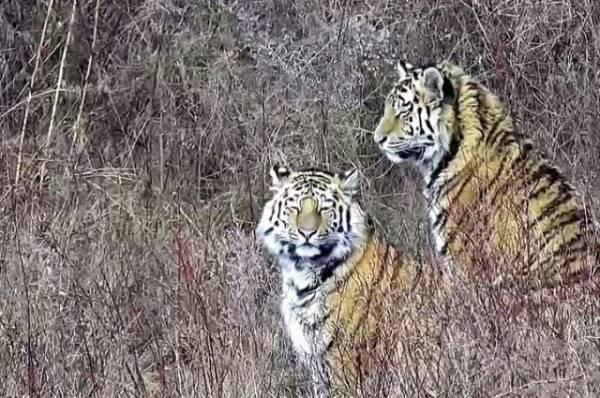 Дело об убийстве тигра Павлика переквалифицировали на более тяжкое