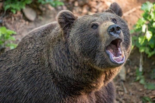 В Красноярском крае жертвой медведя стал подросток